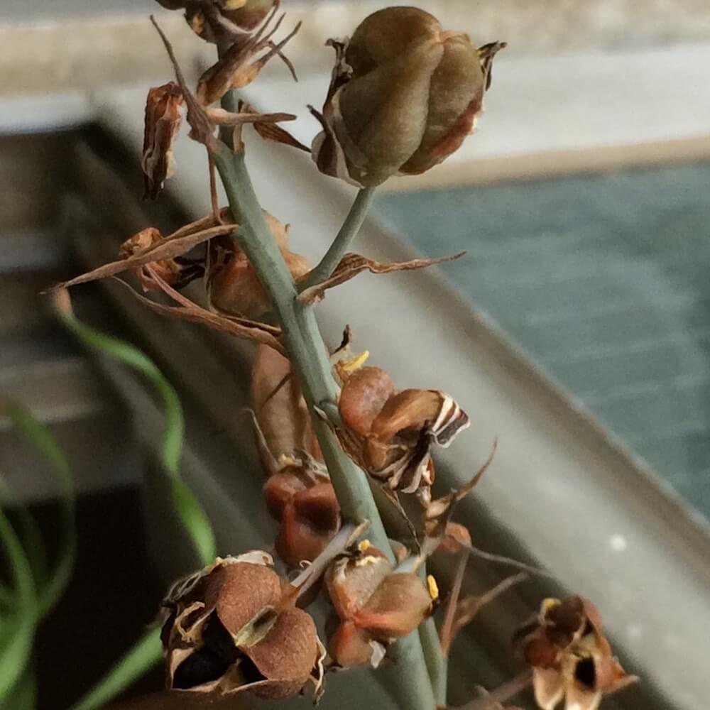 albuca-concordiana-seedling-01