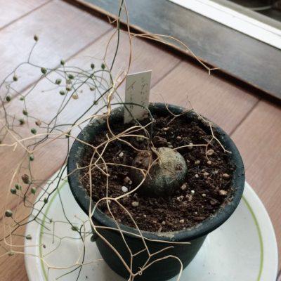 シゾバシス・イントリカータの開花後の写真