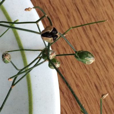 シゾバシス・イントリカータの種の写真