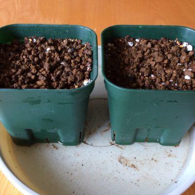 浸した発芽した種を用土に播種