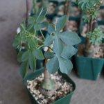 アデニア・グラウカ(Adenia glauca)の育て方、植え替え