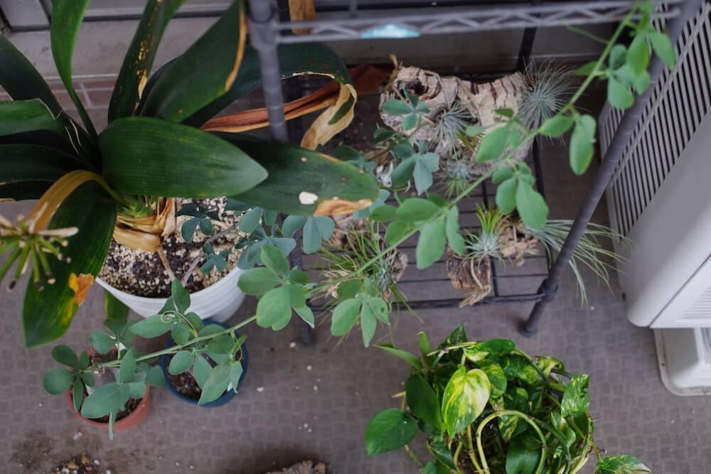 アデニア・グラウカが枝を伸ばしている