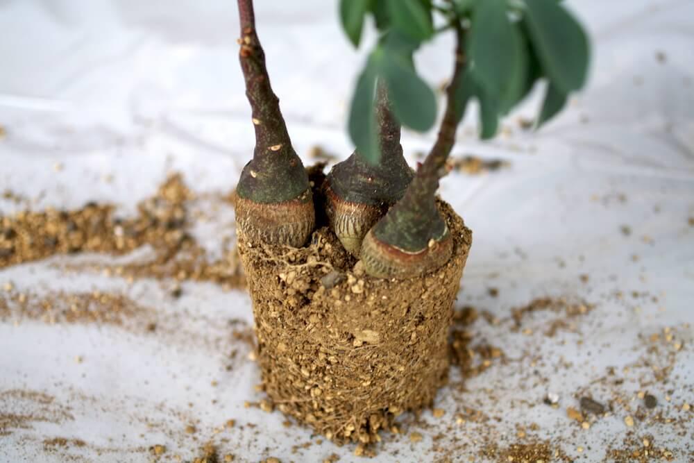 アデニアグラウカの根の様子2