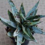 アロエの病気、アロエダニ(Aloe
