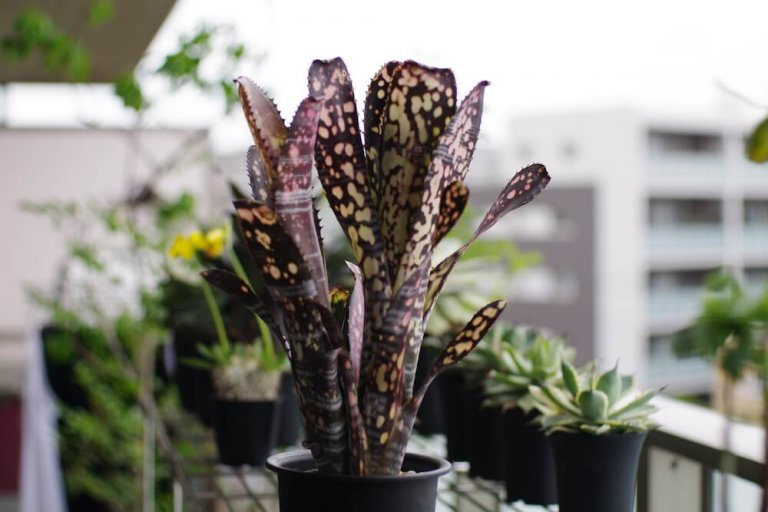 billbergia-midnight-sun-01