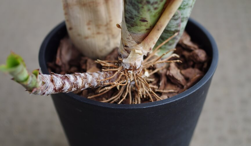 ケスネリア・マルモラータの根