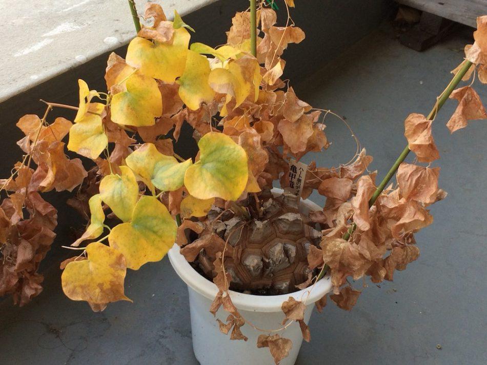 亀甲竜を6月に撮影、まだ葉が残っている。