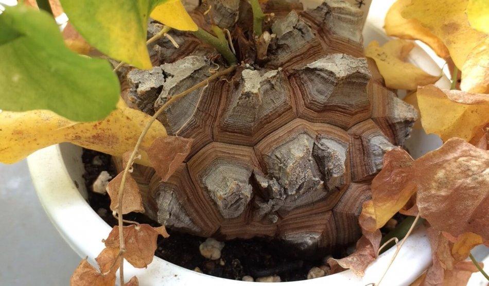 亀甲竜の塊根部(春頃)