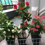 ユーフォルビア・花キリン(Euphorbia milii) | 育て方