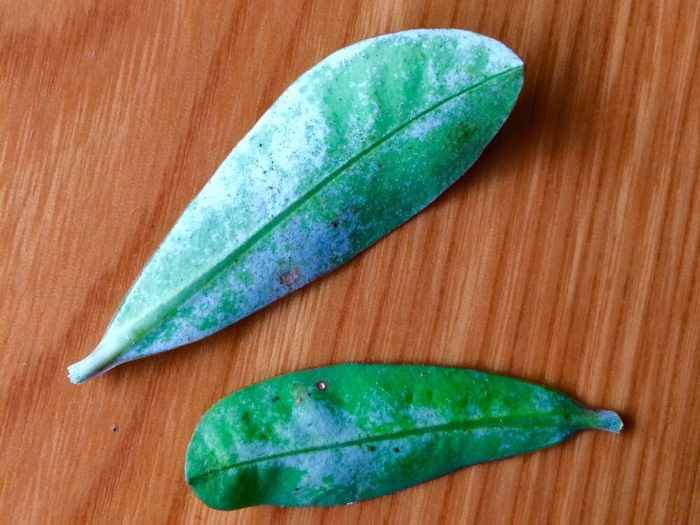 ハダニでやられた花キリンの葉