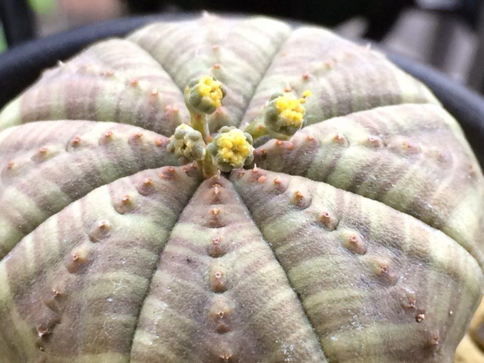 ユーフォルビア・シンメトリカの開花