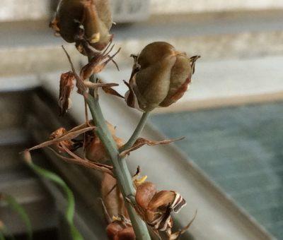 アルブカ・コンコルディアナの開花後に種ができた様子