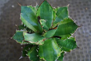 anthracnose-of-agaves-01