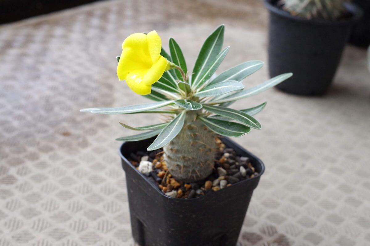 pachypodium-gracilius-seedling-17