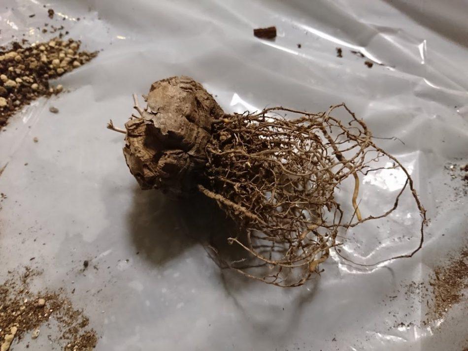 亀甲竜の根