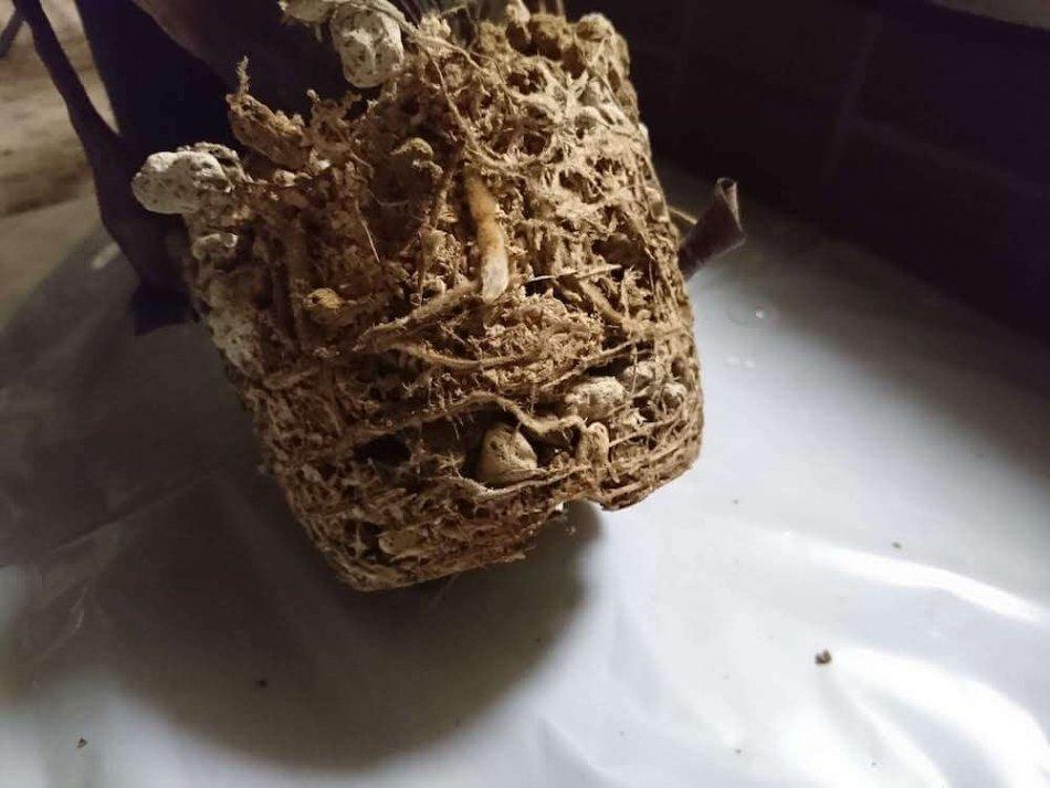 ホヘンベルギア・ベスティタの根