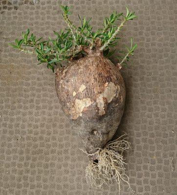パキポディウム・ビスピノーサムの根