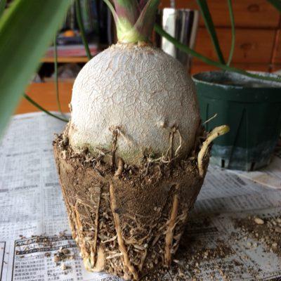 トックリランの根