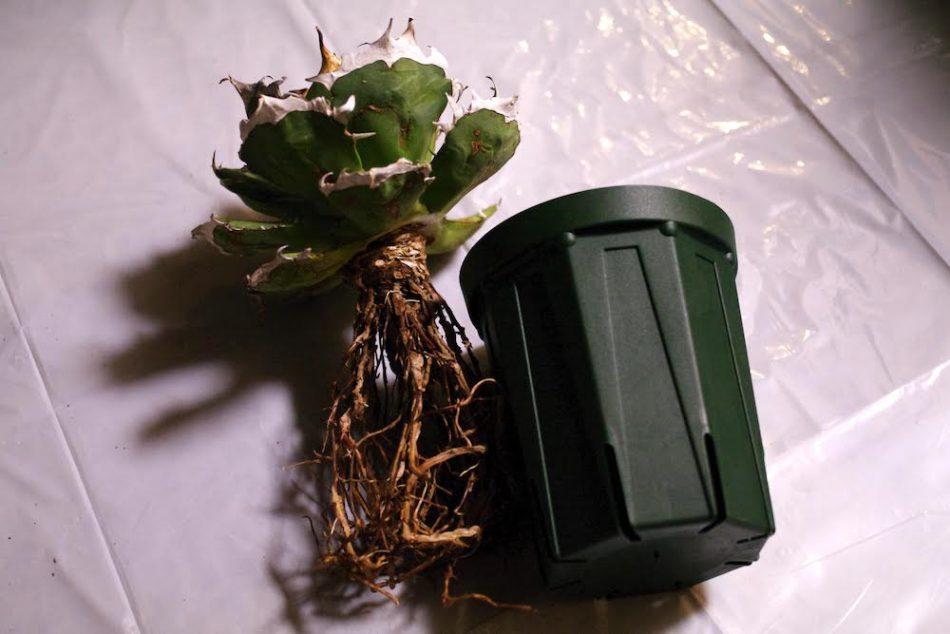 アガベ・チタノータの根
