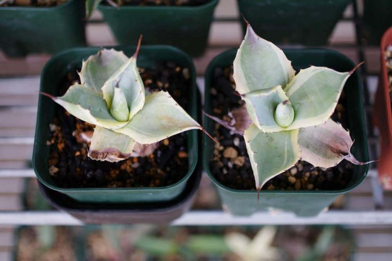agave-chil-water-03