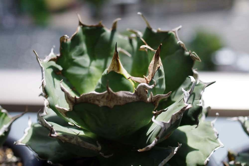 agave-method-07