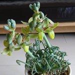 くるくるの葉がかわいい植物、アルブカの紹介、育て方、人気の種類