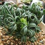 アルブカ・スピラリス・フリズルシズル(Albuca spiralis)| 育て方