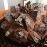 亀甲竜の植え替えとイモを大きくする方法