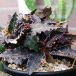 ユーフォルビア・フランコイシー(Euphorbia