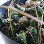 ユーフォルビア・グロボーサ(Euphorbia globosa)の紹介