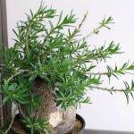 パキポディウム・ビスピノーサム(bispinosum) | 育て方