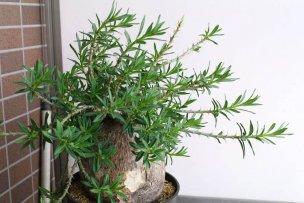 pachypodium-bispinosum-01