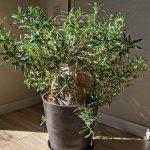 パキポディウム・ビスピノーサム(Pachypodiumbispinosum)の育て方、栽培記録