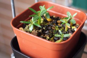 pachypodium-seedlings-14