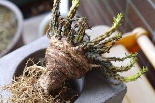 Euphorbia-gorgonis-die-03