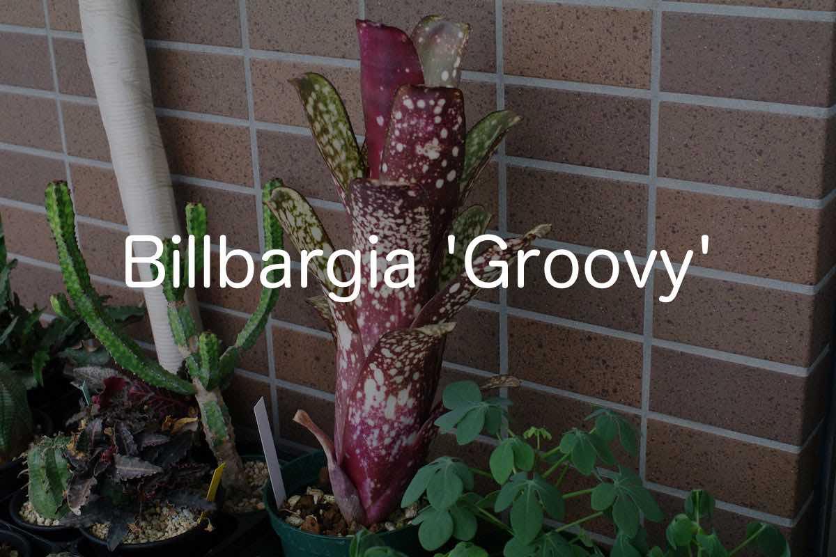 billbargia-groovy-00