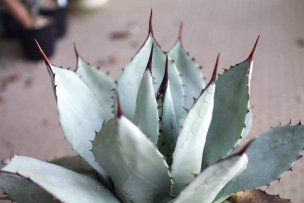 agave-parryi-02