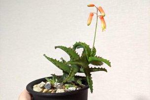 アロエ・カスティロニアエ(Aloe castilloniae)の開花画像
