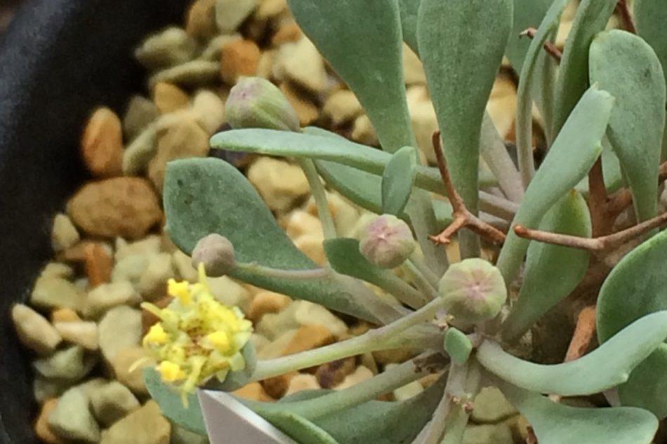 オトンナ・ユーフォルビオイデスの花の写真