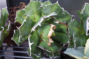 agave-titanota-die-02