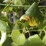 亀甲竜の葉が枯れる/ハダニ被害と対策