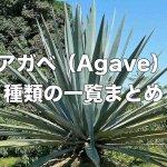 アガベ属(Agave)の種類を一覧まとめ