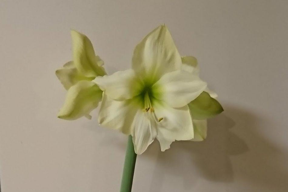 大きい花が美しいアマリリスの開花画像
