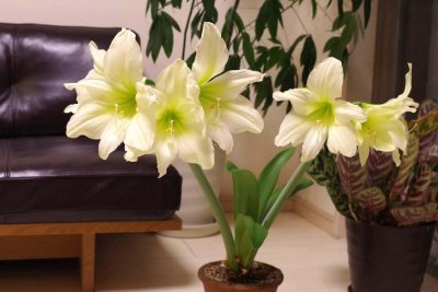 magic-amaryllis-07