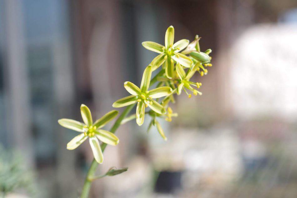 アルブカ・コンコルディアナの花の写真