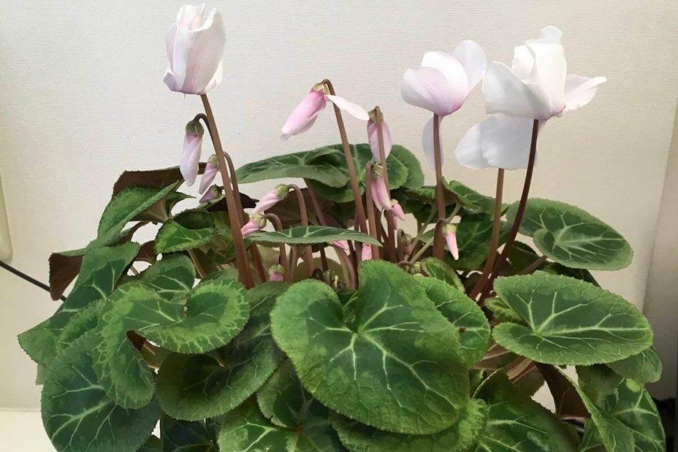 シクラメンの開花画像