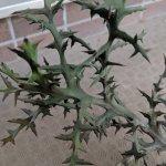 ユーフォルビア・ステノクラーダ(Euphorbia