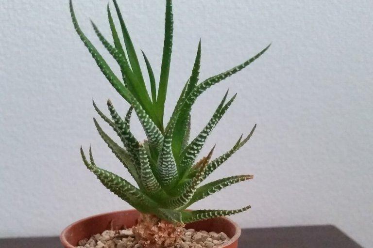 haworthia-fasciata-01