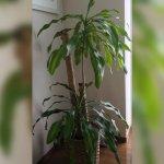 ドラセナ・マッサンゲアナ(幸福の木)の育て方