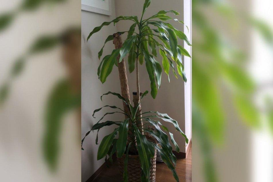 ドラセナ・マッサンゲアナ(幸福の木)の画像2